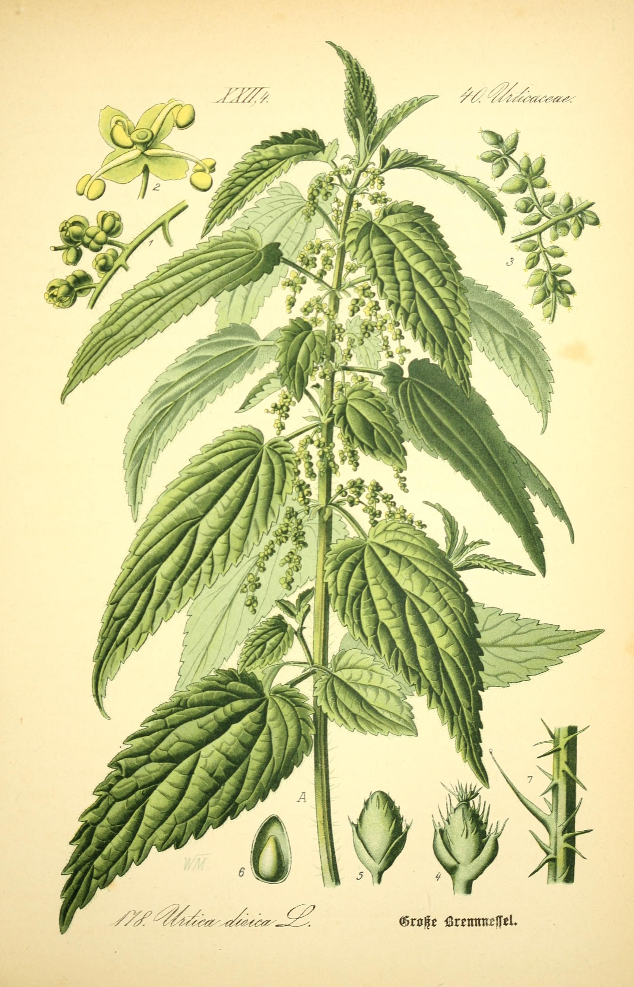 The Benefits Of Stinging Nettle Medicinal Plants Healing Plants Herbalism
