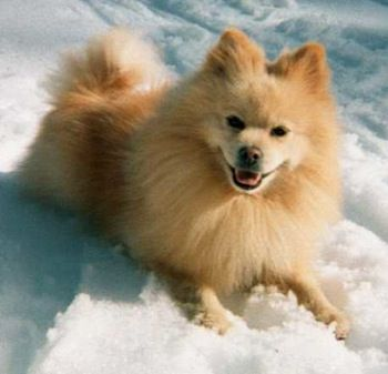 American Eskimo Dog Puppies Dogs Pinterest Pomeranian
