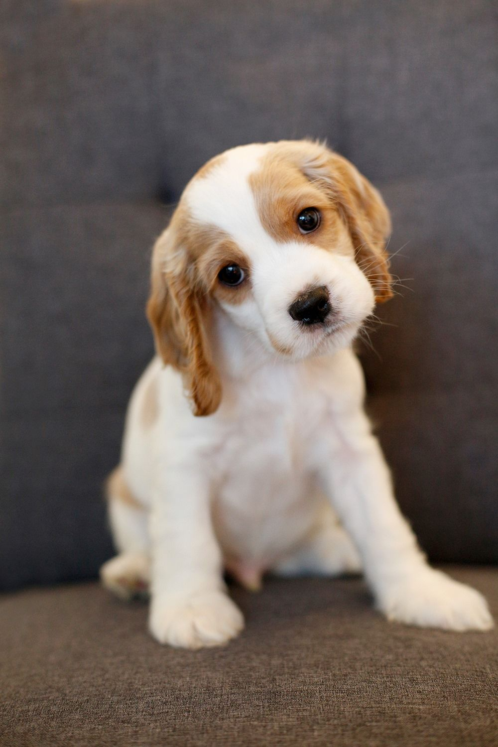 Little Henry Was Born On May 5 2019 Isn T He The Cutest Learn More About Adopti Cocker Spaniel Puppies Rescue Dogs For Adoption Cocker Spaniel