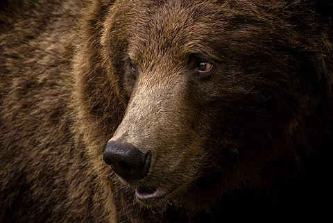 Portrait Of A Brown Bear Ursus Arctos Large Male Finland Scandinavia Europe Bear Island Brown Bear Ursus