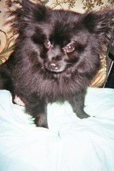 Adopt Petey On Pomeranian Dog Lap Dogs Pomeranian For Sale