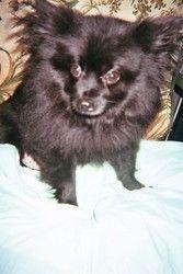 Adopt Petey On Pomeranian Dog Lap Dogs Pomeranian For Sale