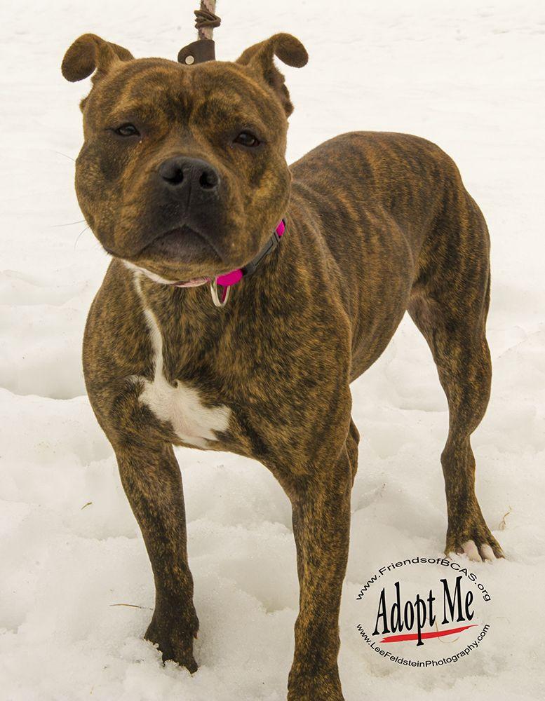 Adopt Pretty D57229 on Bull terrier mix, Stafford bull