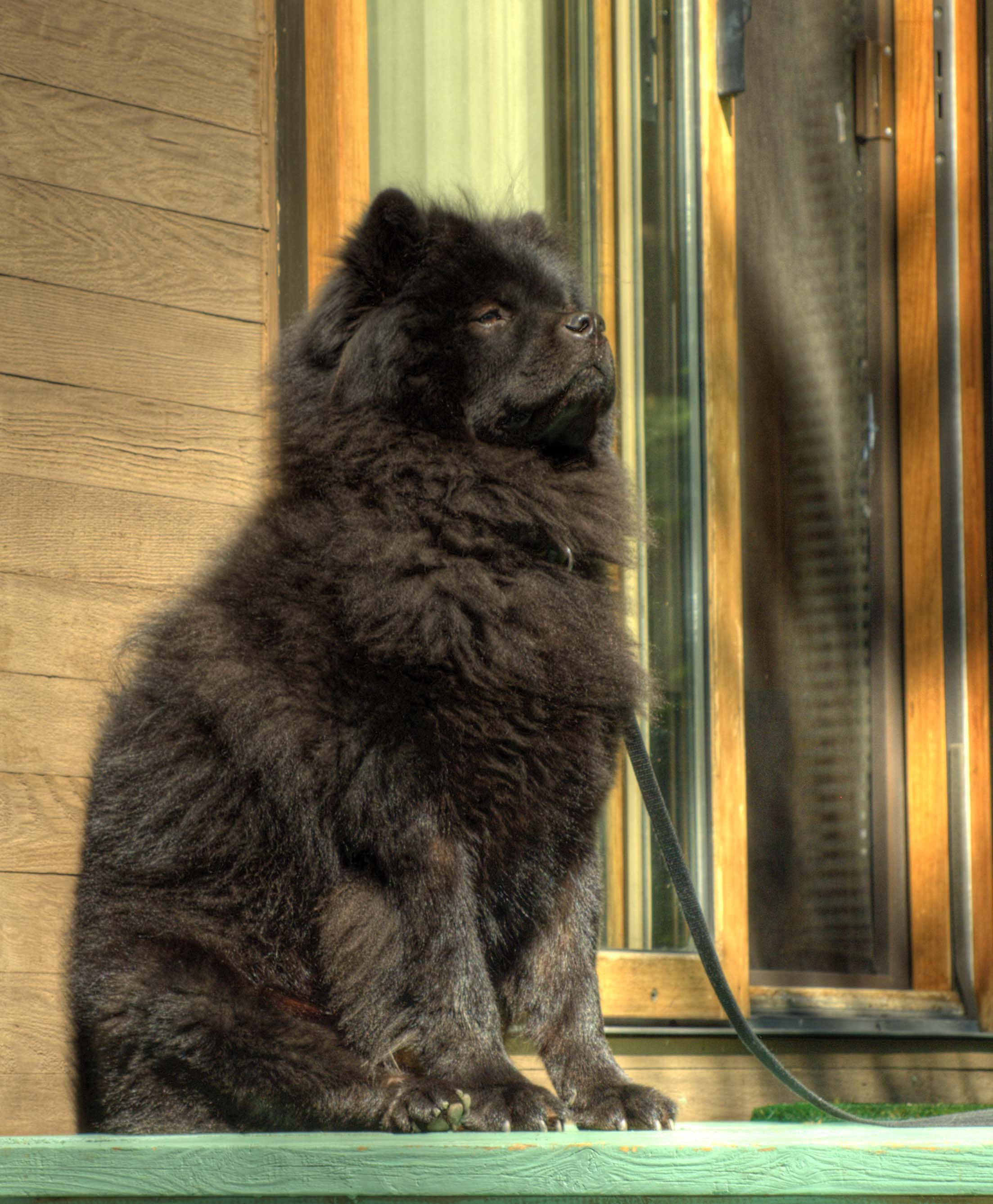 Chow Chow Looking Regal Looks Like My Chang Fully Grown With