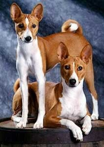 Someday Someday I Will Own A Basenji Basenji Dogs Dogs Basenji Puppy