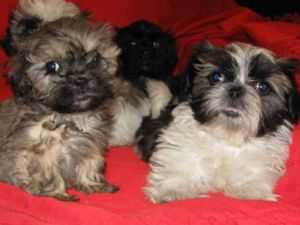 Maltese Shih Tzu Poodle Mix Cutest Puppy Ever Cute Animals Puppies