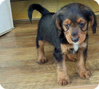 Westport Ct Dachshund Shih Tzu Mix Meet Tessa A Puppy For