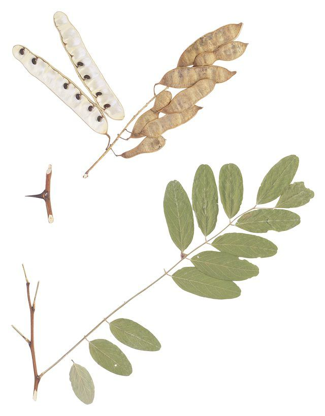 The Honey Locust Tree Root System Hunker Honey Locust Honey Locust Tree Smoke Tree