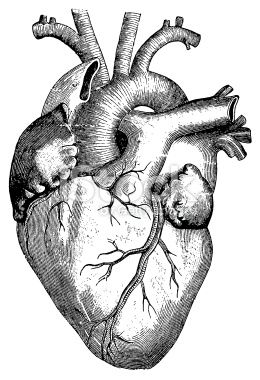 Antique engraving of human heart published in - Coeur humain dessin ...
