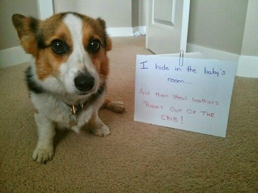 Sigh Another Soother Gone At Least This Time Lucy Looks Ashamed Corgi Corgi Corgi Nation Soother