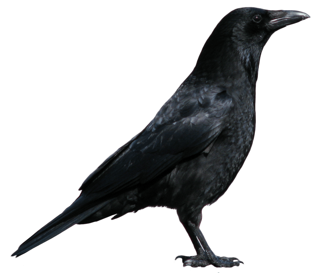 7crowpngimage PNG Image Crow pictures, Crows drawing