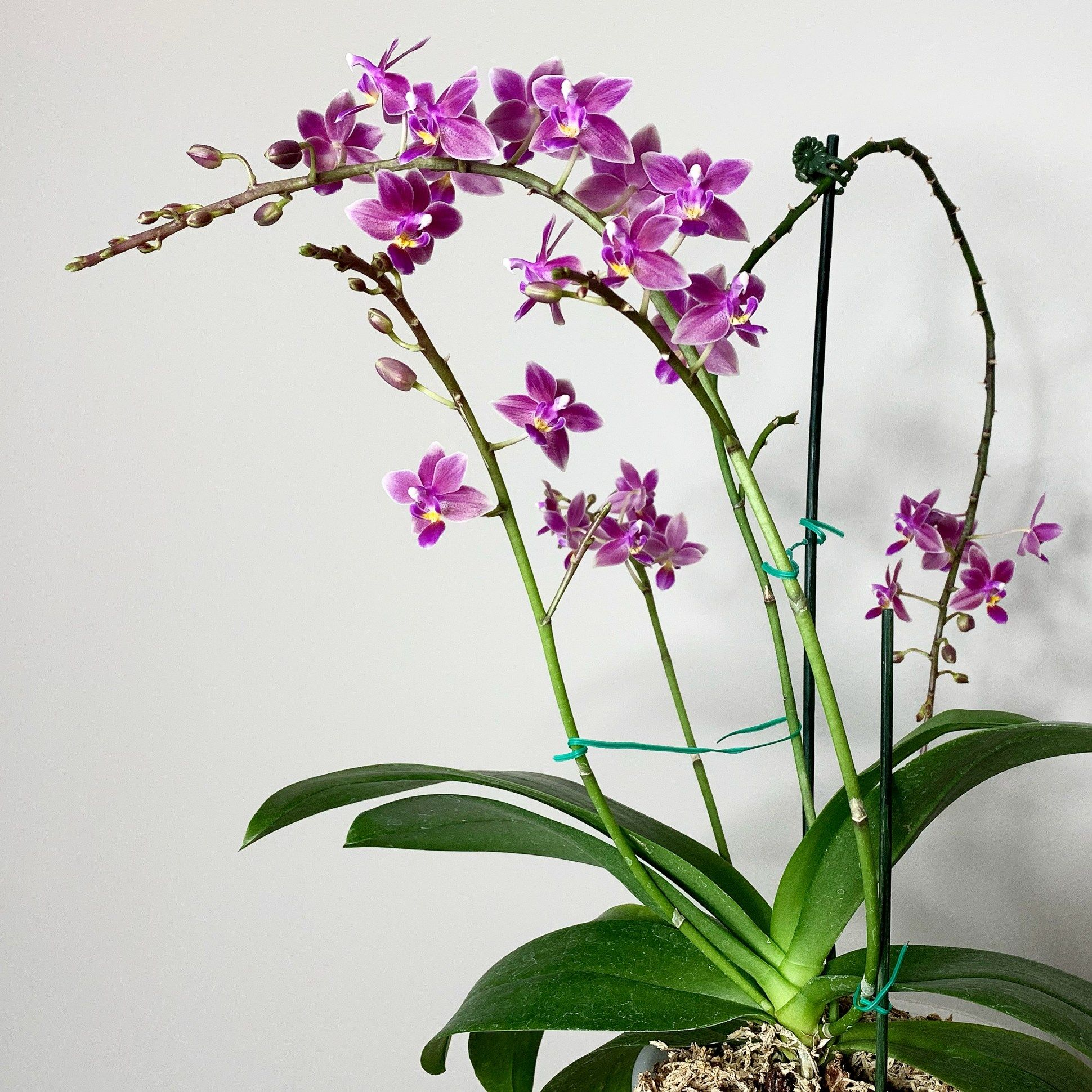 6 Reasons You Shouldn T Cut Old Spikes On A Phalaenopsis Here But Not In 2020 Phalaenopsis Growing Orchids Orchids