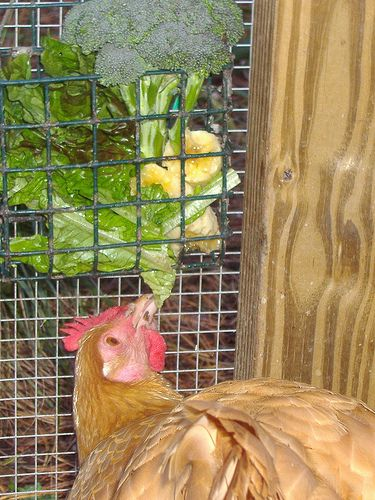 The best treats for chickens