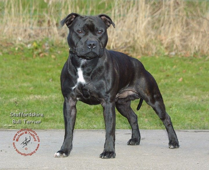 Beautiful Staffie Pretty Sure This Dog Is Almost Identical To Hank Bully Breeds Dogs Staffordshire Bull Terrier Pet Fox