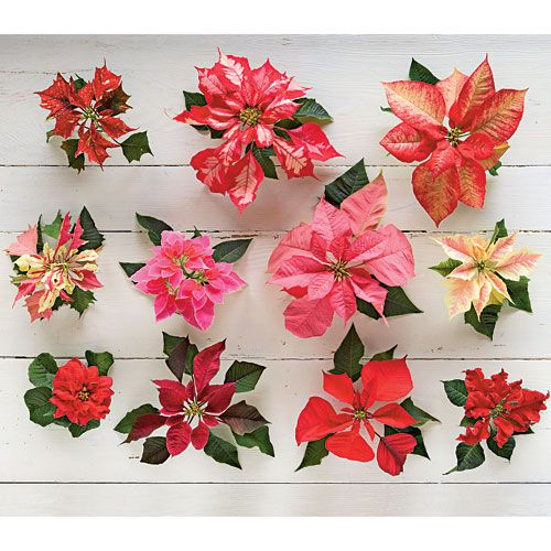 Cut poinsettia arrangements poinsettia flowers and for Poinsettia arrangements