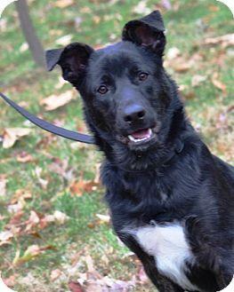 Enfield Ct German Shepherd Dog Labrador Retriever Mix Meet Gunnar A Dog For Adoption Kitten Adoption Shepherd Dog Mix Dogs