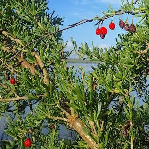 Finnding Christmasberries on Christmas is good foraging. Photo by Green Deane