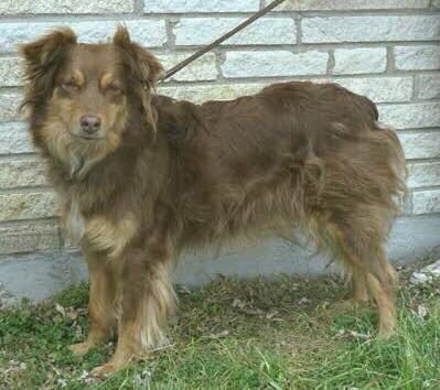 Australian Shepherd Red And Tan Not A Red Tri Because There Isn T