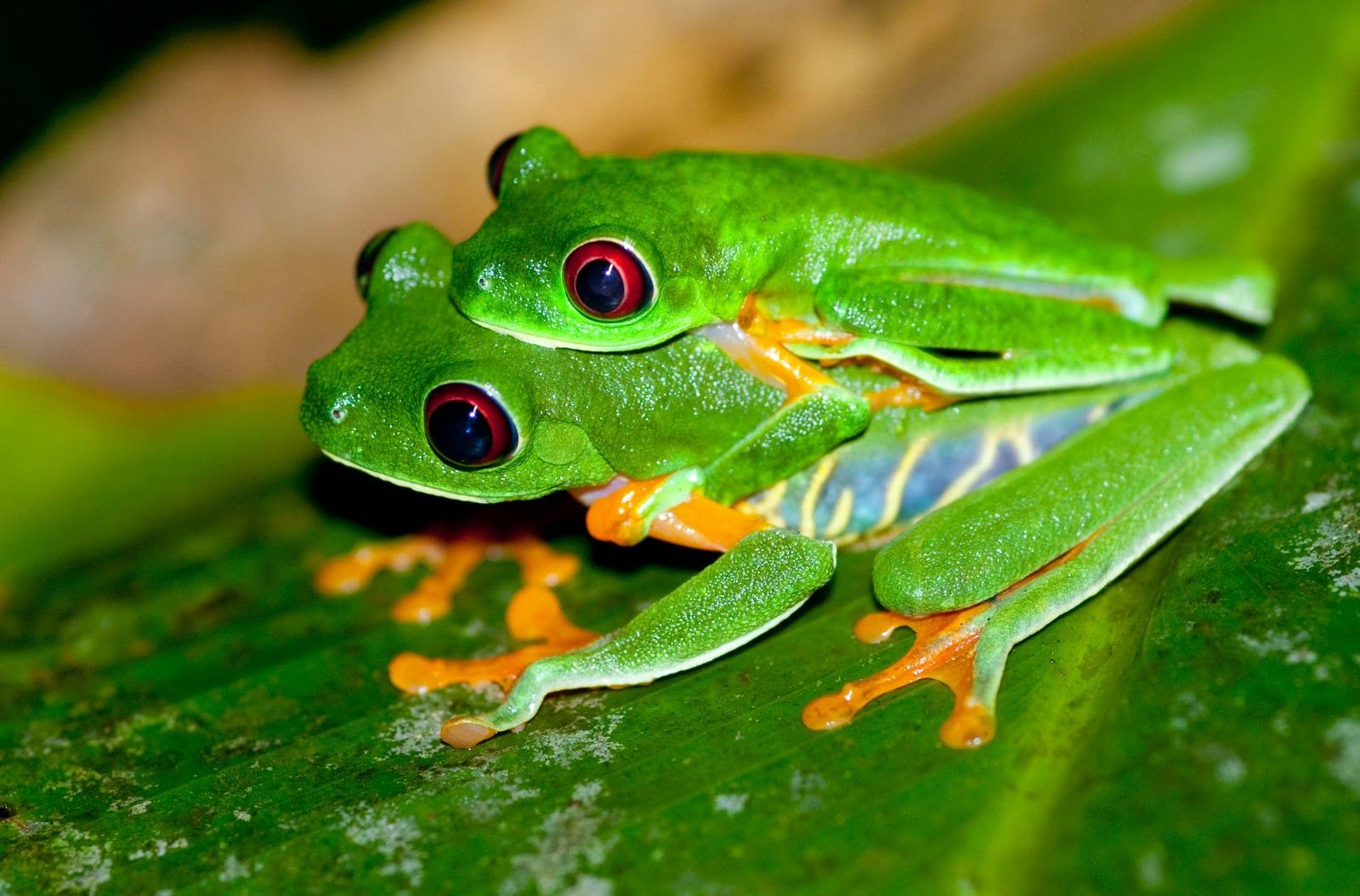 a baby red eyed treefrog normally sticks with its mother intill old enough to live alone.