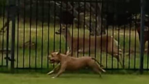 Vidéo un chien et un chevreuil qui s'amuse