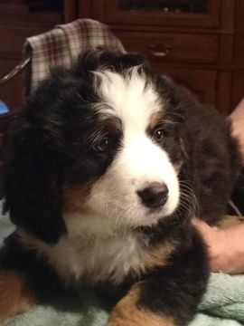 Litter Of 5 Bernese Mountain Dog Puppies For Sale In Augusta Wv