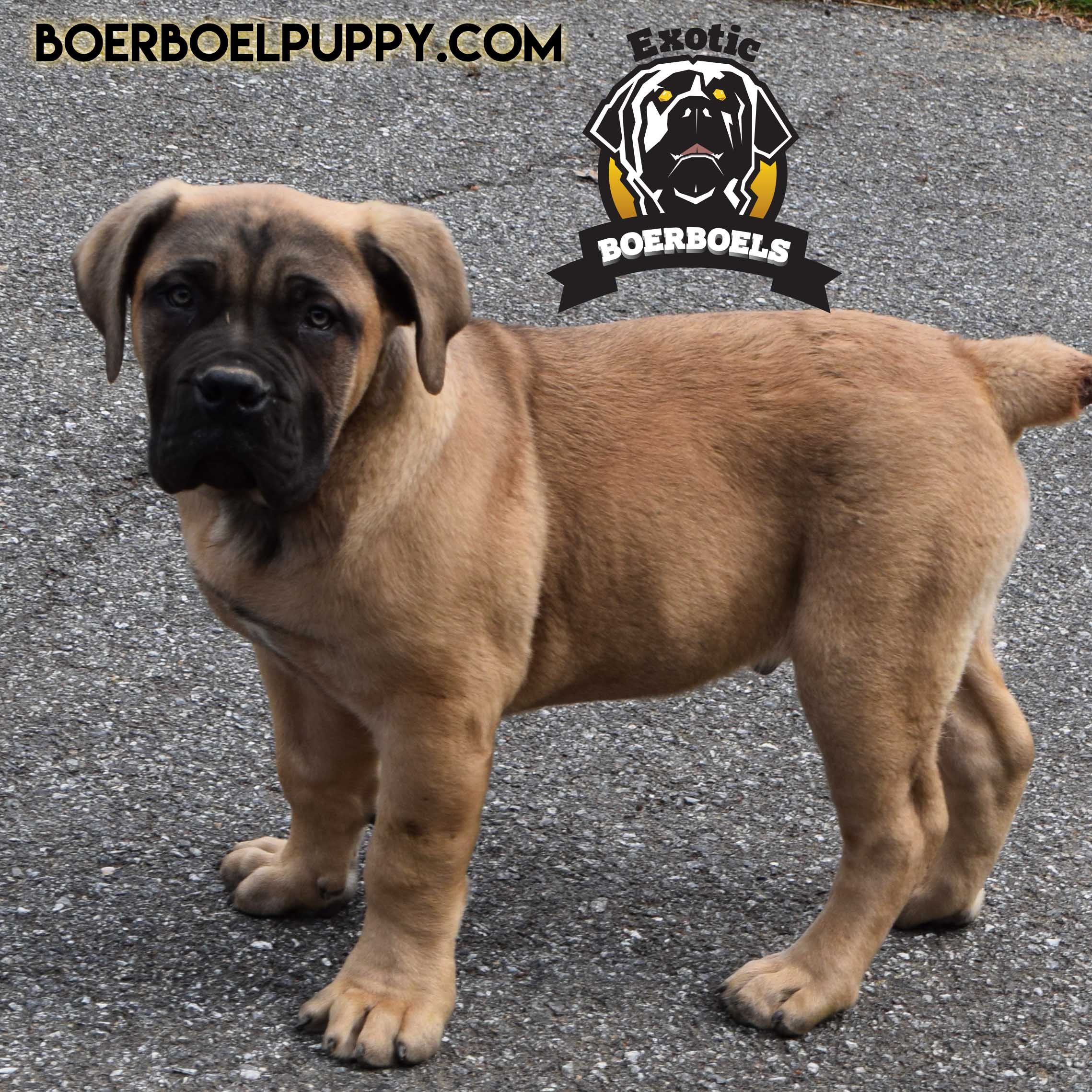 male puppy South african boerboel, Puppies, African