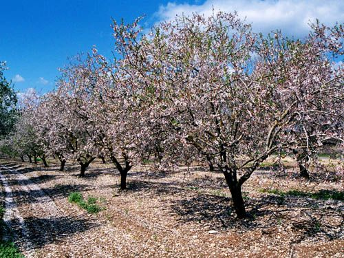 Almonds – a symbol of watchfulness and old age | Palestine ... Symbols Of Watchfulness