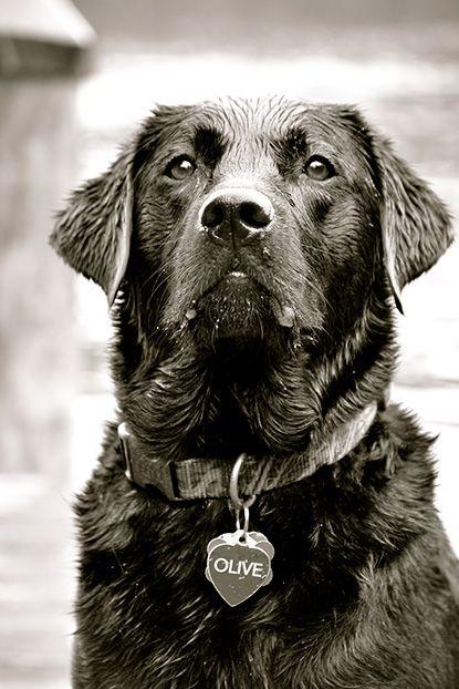 Photo Credit Bill Hennessey Olive A Black Labrador Retriever