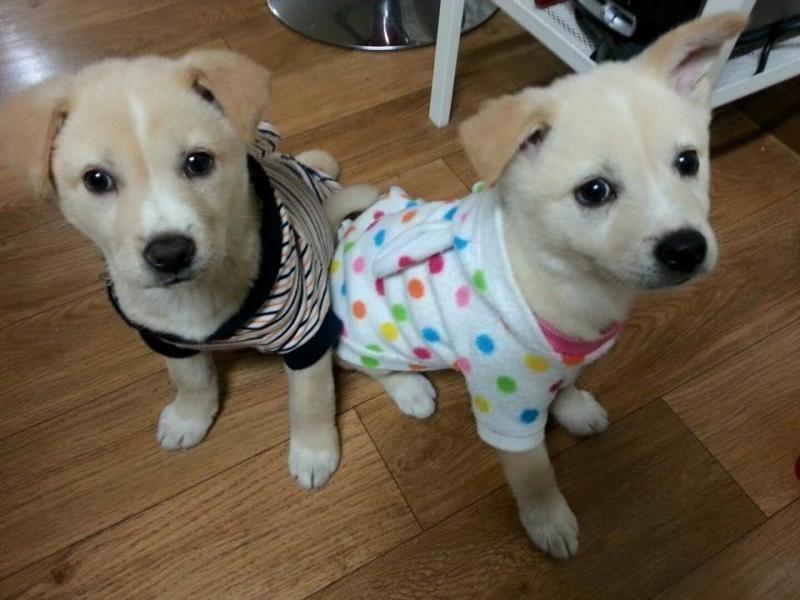 Adopt Jindo Mix Puppies On Petfinder Jindo Dog Puppies Dogs
