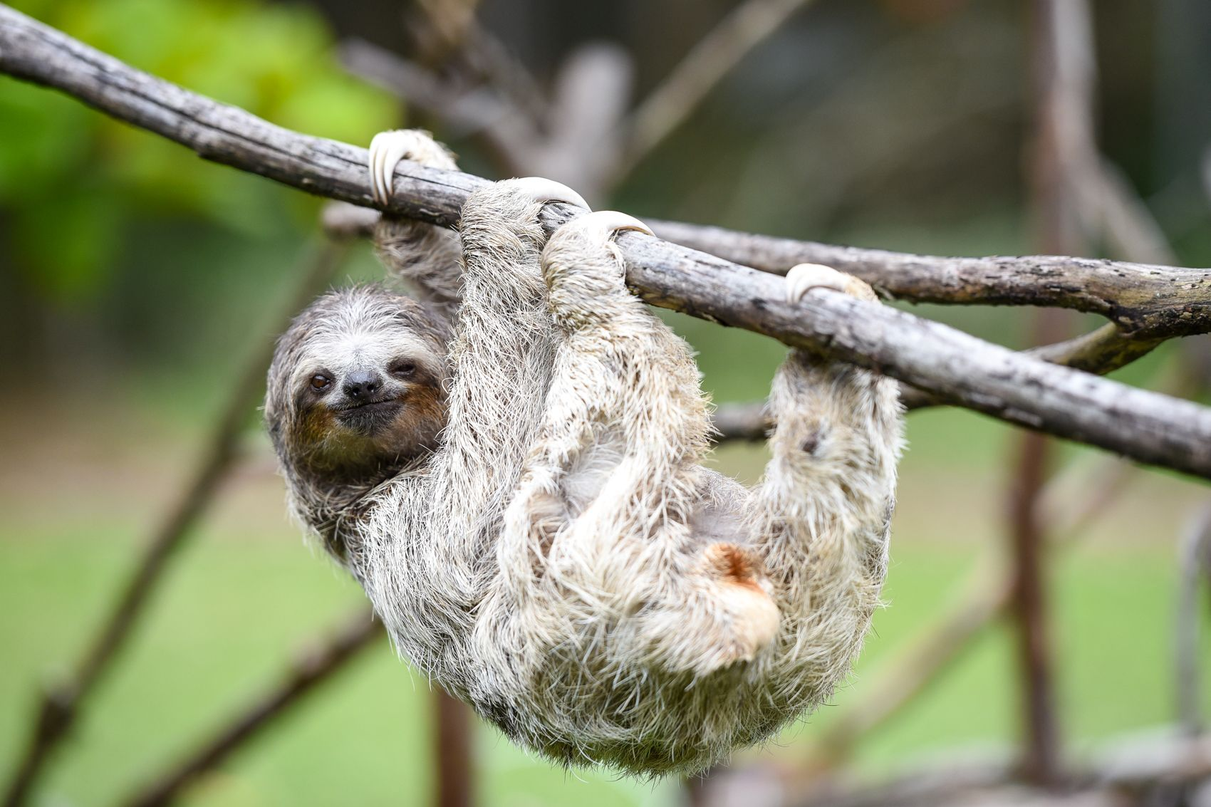 Sloth going to the bathroom - 6 Different Types Of Sloths In The Rainforest With Pictures And Facts