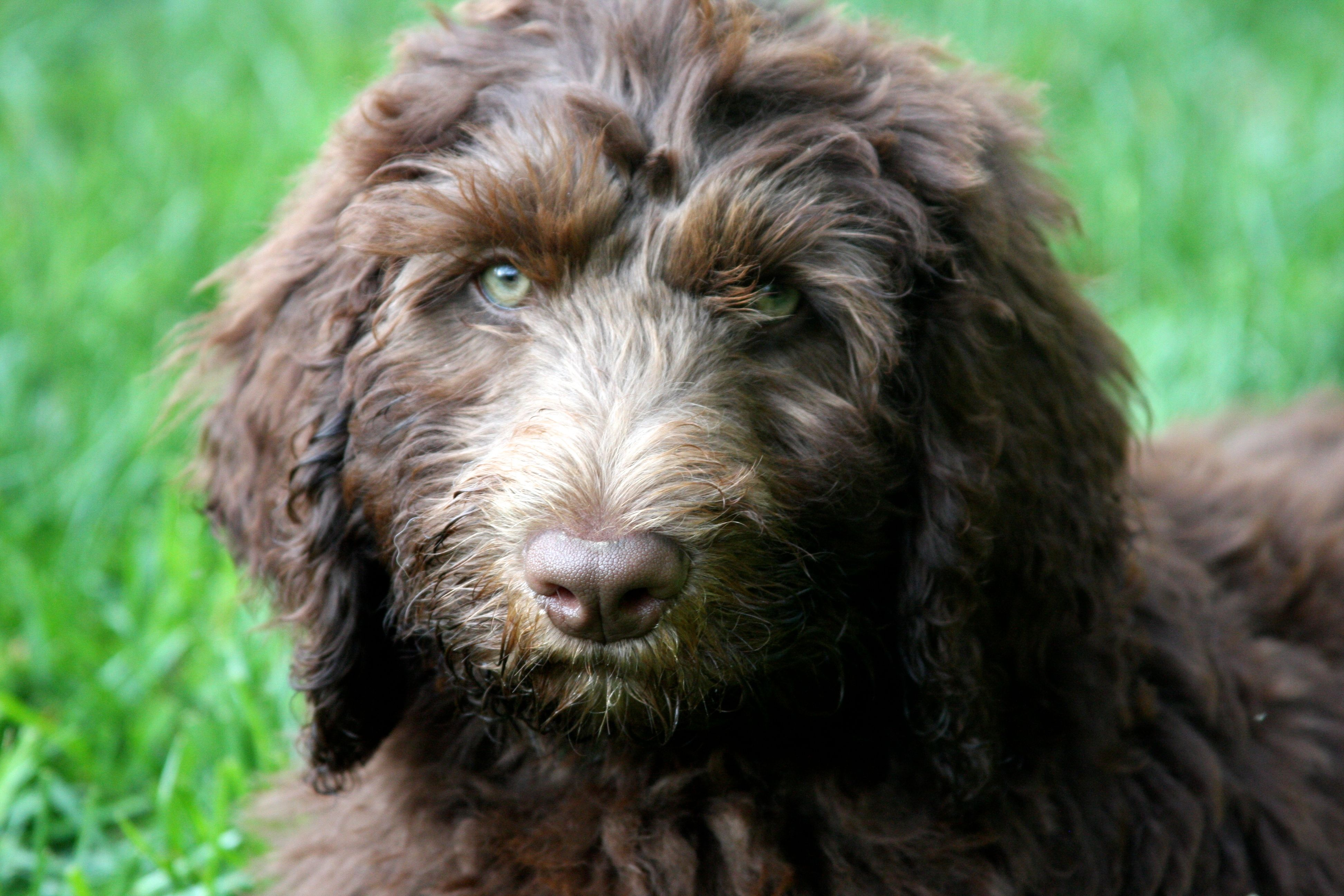 Stormy The Newfypoo At 12 Weeks Photo By Kathleen Thometz Stormy