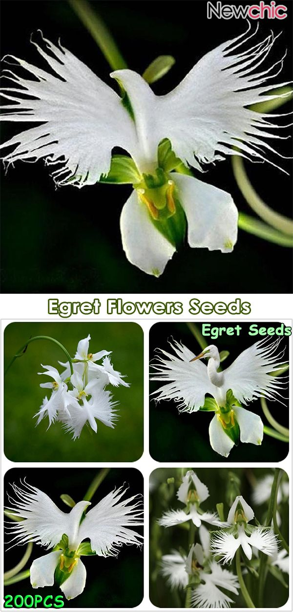 Japanese Egret Flowers Seeds Diy Your Garden