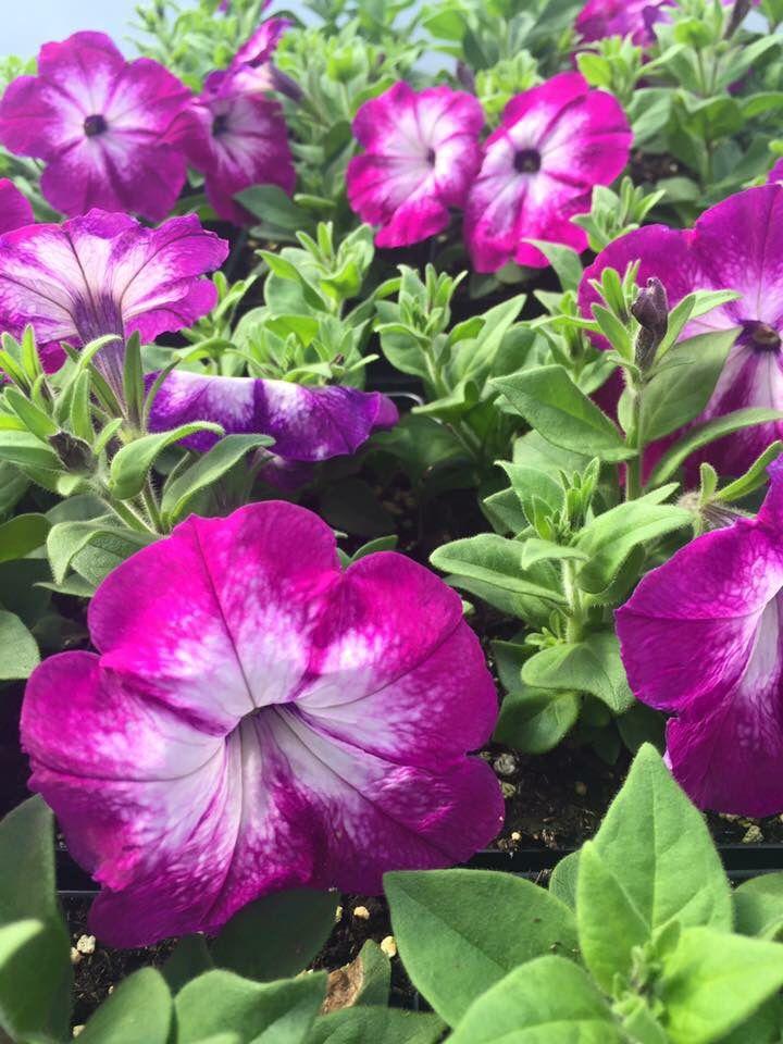 Sanguna Radiant Rose Petunia | ALMA Garden Gate | Pinterest ...