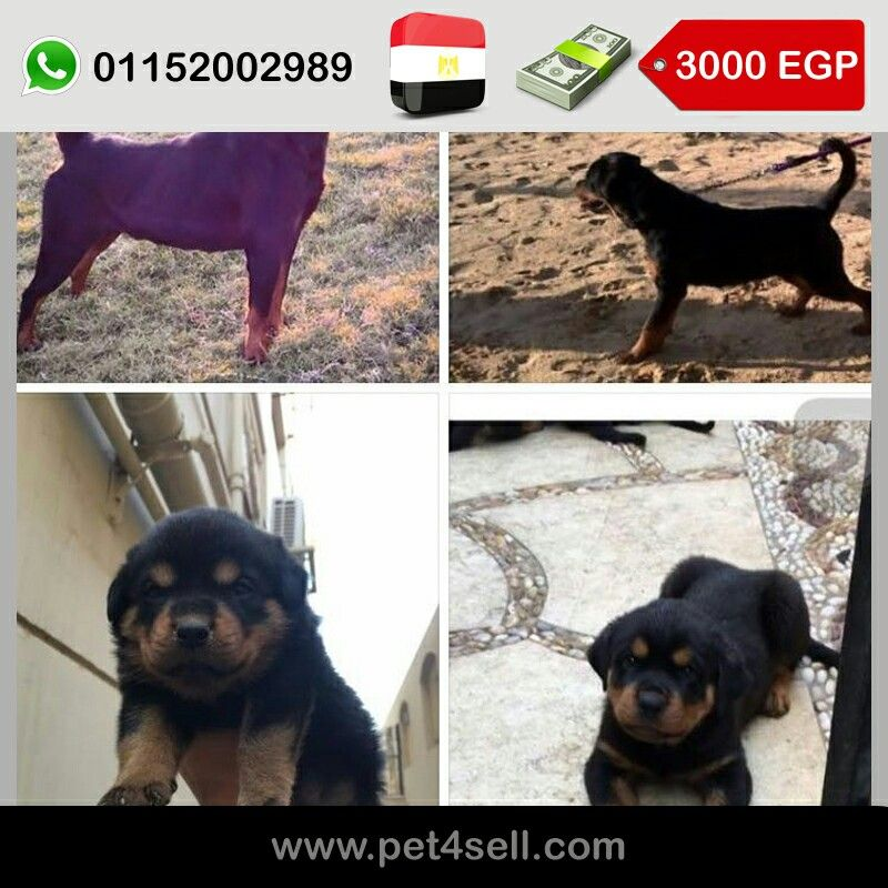 Egypt Cairo 5 Rottweiler Dogs For Sale Pure 3 Male 2 Female