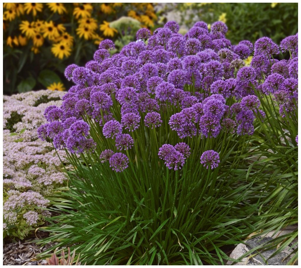 Cottage Farms 3 Piece Millennium Allium Page 1 Qvc Com