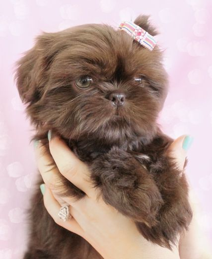 Shih Tzu Puppy For Sale At Teacups Puppies South Florida Shih Tzu Puppy Shih Tzus Shih Tzu