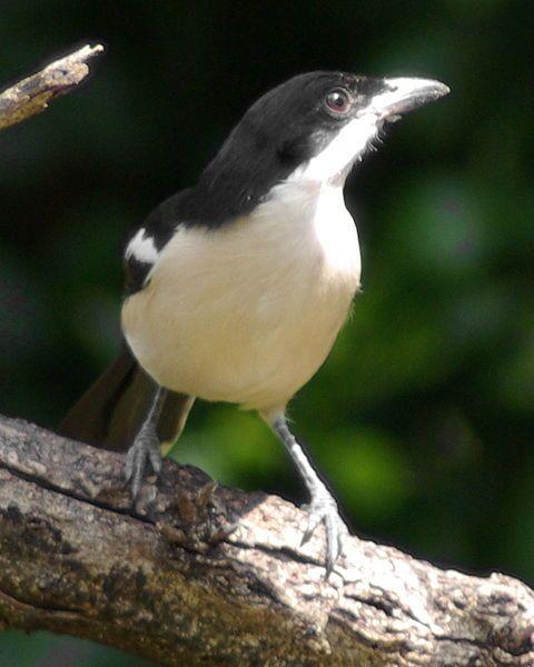 Shrike, common boubou