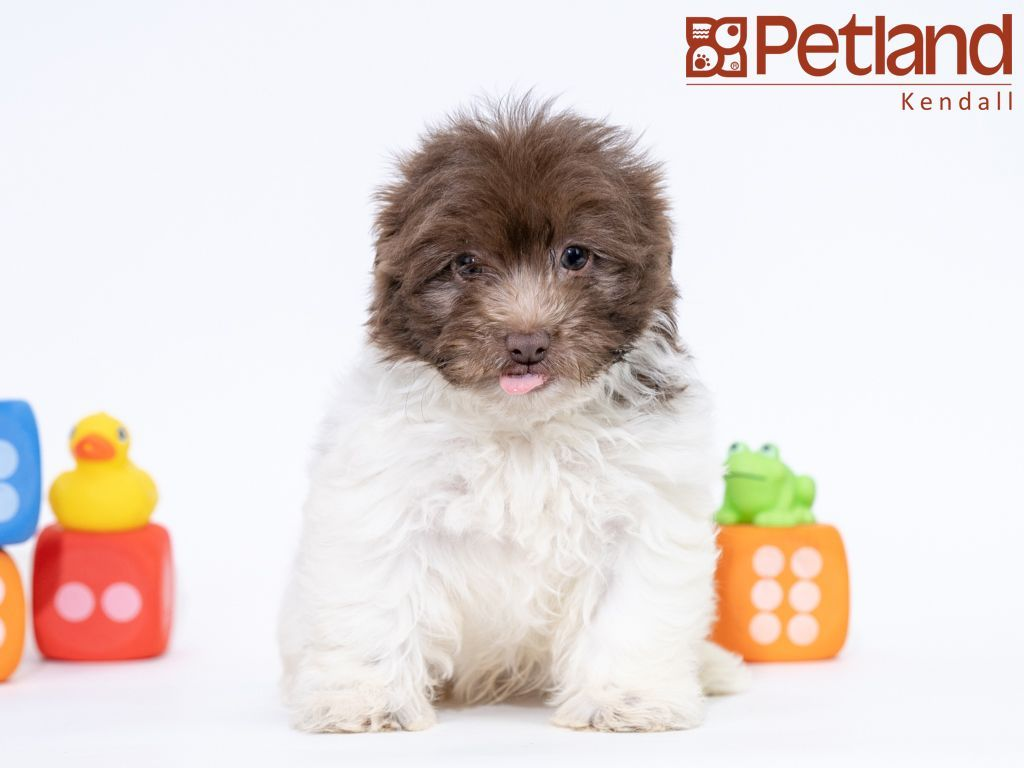 Petland Florida has Havanese puppies for sale! Check out
