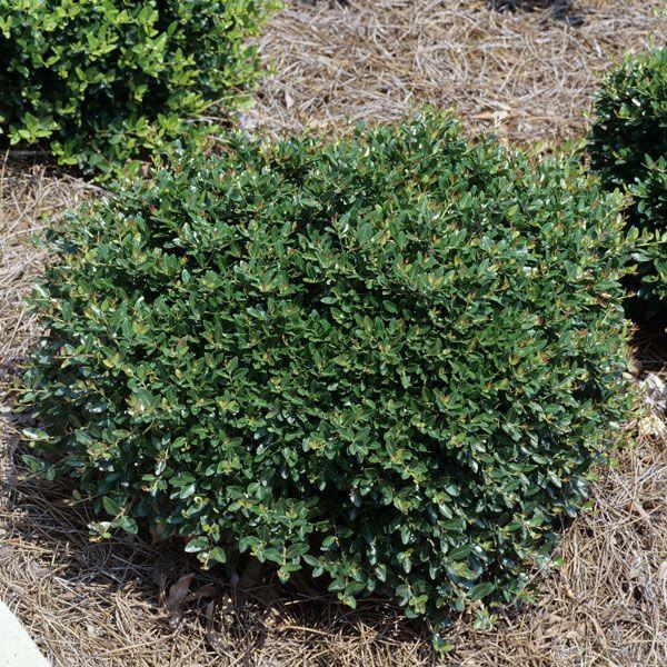 Japanese Holly 'Soft Touch' (Ilex crenata) | My Garden Life
