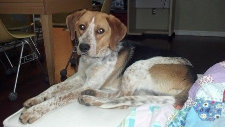 Beagle Rescue Of Southern Maryland Beagle Rescue Blue Tick