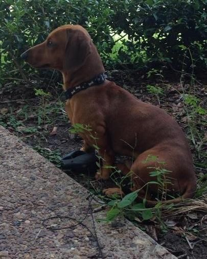 Victoria Tx Found Found Dachshund Male Intact About A