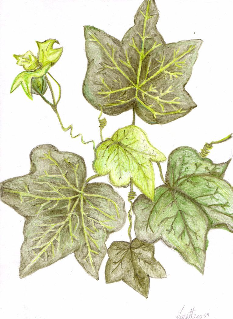 Ivy~ Magical Uses: Binding Luck, Love & Fidelity On One's Self, Healing
