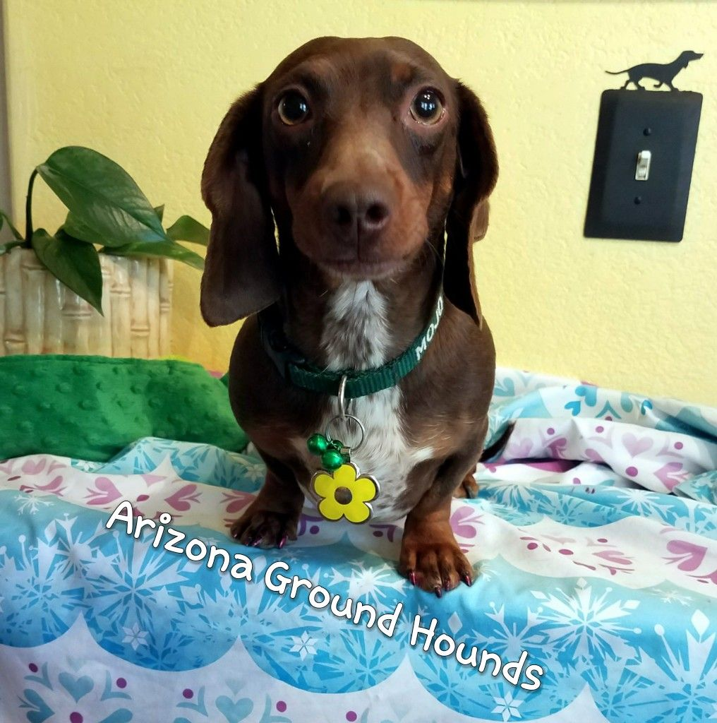 Mojo Is So Pretty Chocolate Tan Hidden Dapple Miniature Dachshund