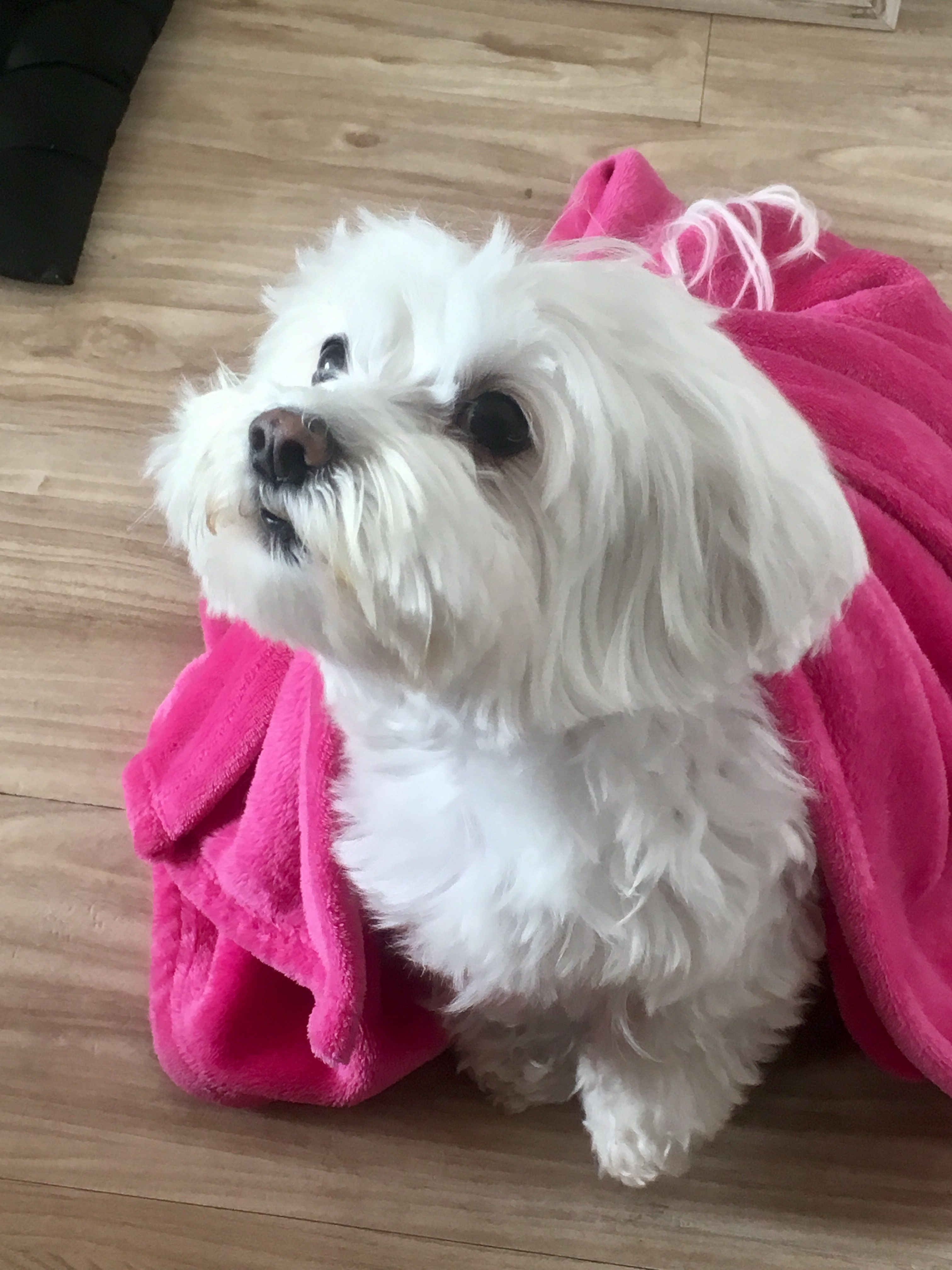 What A Cutie Maltese Maltese Dogs Cute Dogs Puppies Cute Dogs