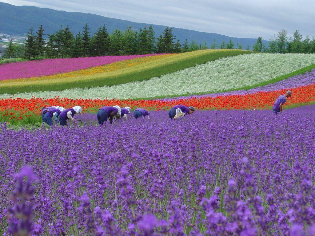 Resultado de imagen de Granja Tomita: Hokkaido, Japón