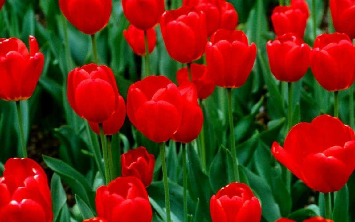 Red Perennials By Tila Figueroa On Flowers Flower Seeds Red Flowers