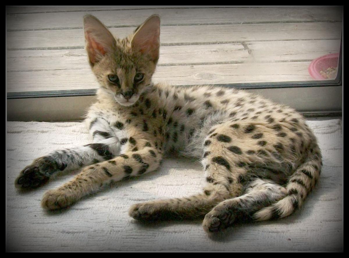 savannah cat Bing images Savannah cat, Serval kitten, Cats