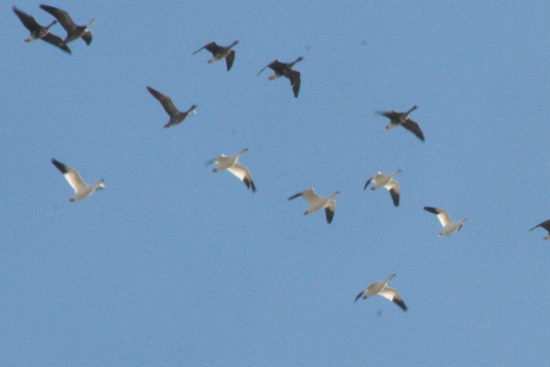 Why And How Do Birds Migrate Bird Migration Bird Birds