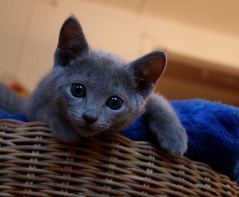 Russian Blue Kittens For Sale Russian Blue Love 2015 Fluffy Cat Breeds Russian Blue Kitten Cat Breeds