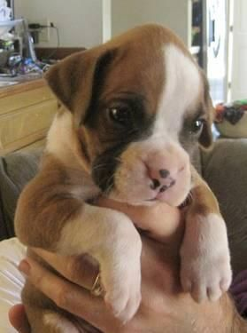 Yes I Know I M Cute Super Cute Puppies Boxer Love Boxer Puppies